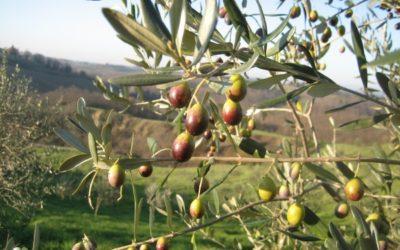 Corsi di potatura dell'Olivo a Montescudo – Monte Colombo
