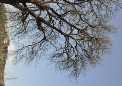 La grande quercia di Valliano
